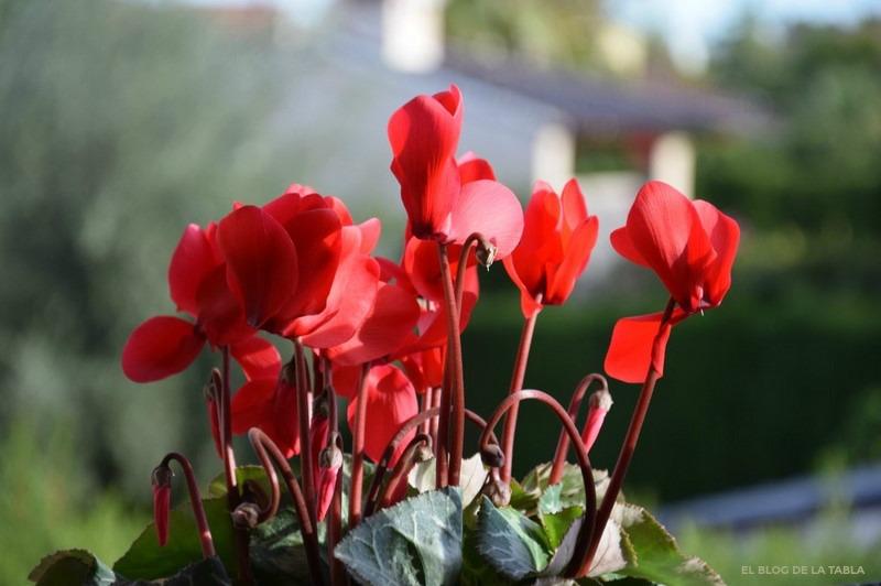 Cyclamen persycum hybrid