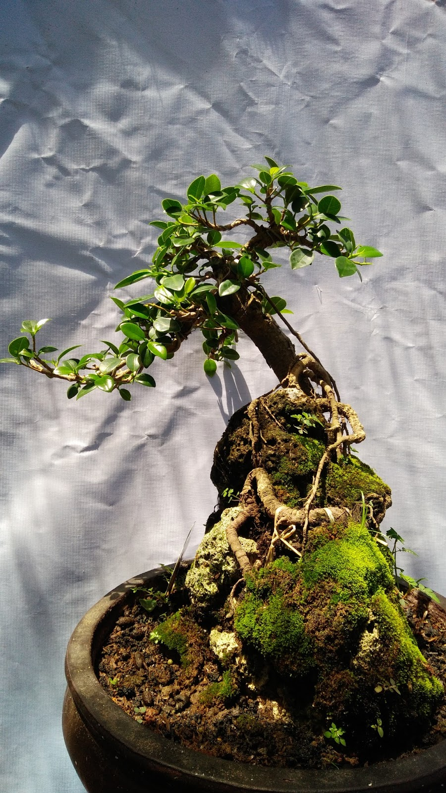 Bonsai Beringin Gaya Air Terjun Blogger Bonsai