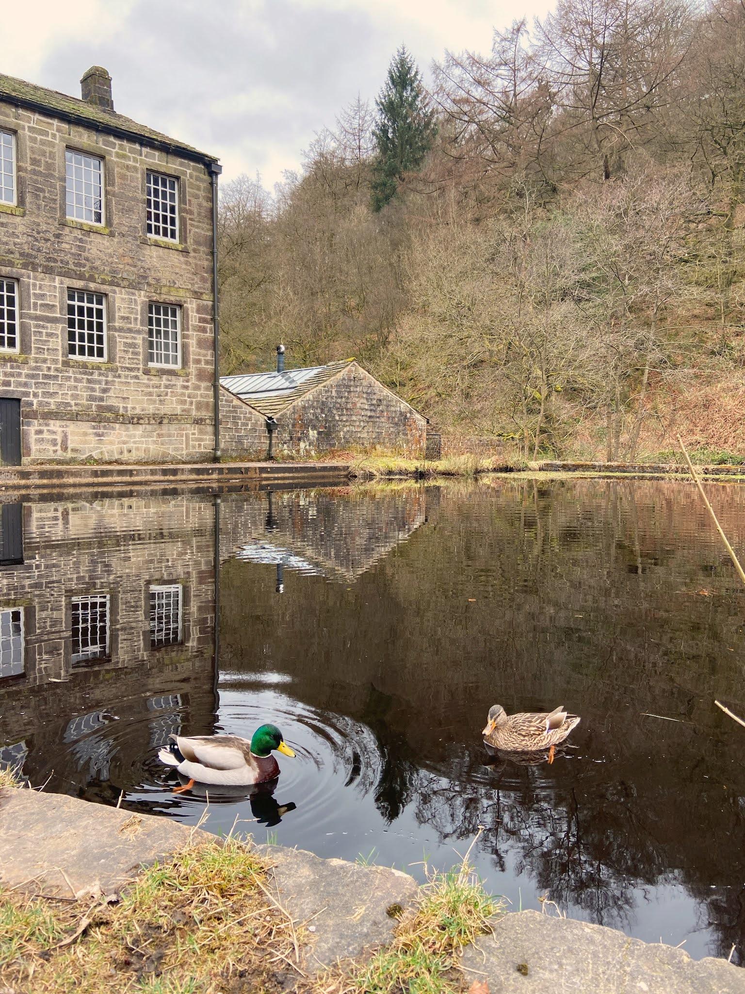 ducks at gibson mill