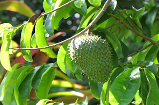 Benefits Of Soursop Leaves Cope With Various Diseases