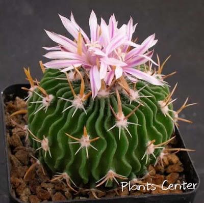 วิธีเลี้ยง ต้นกระบองเพชร Cactus แคคตัส