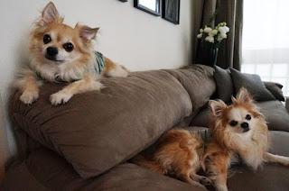 cães em locais mais alto no sofá