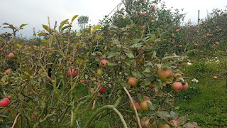 pemetikan buah apel malang