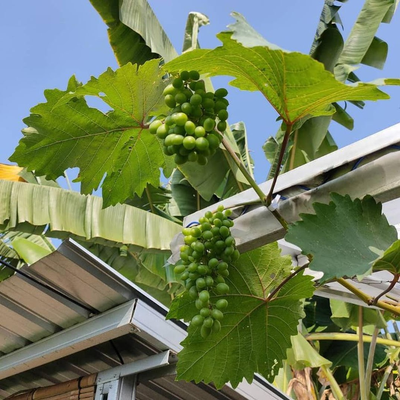 Bibit anggur harold VALID Banten