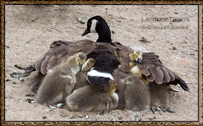 Close-up of Canada goose with eight goslings under her wings