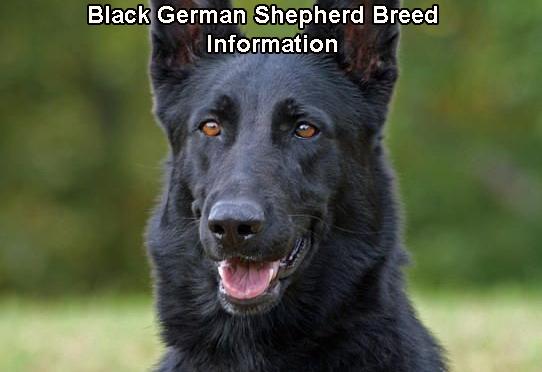 Black German Shepherd Breed Information