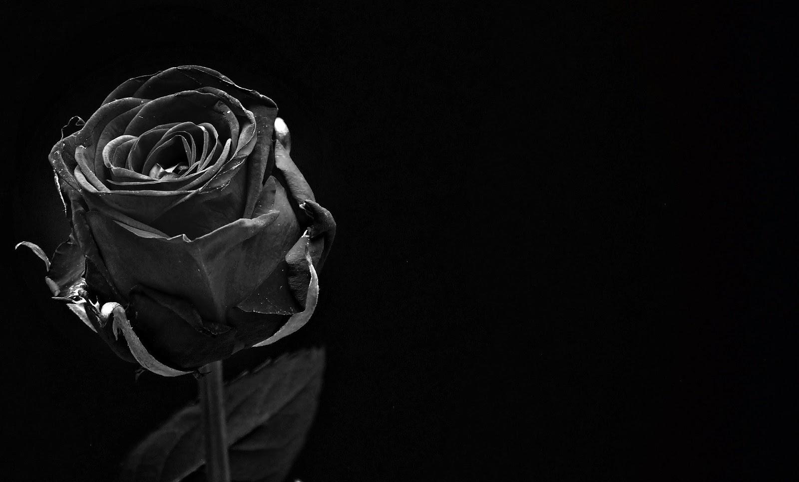 Gambar bunga mawar mawar hitam