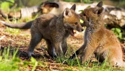 Foto de crías pequeños de zorros