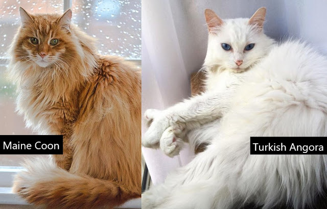 Maine Coon compared to the Turkish Angora