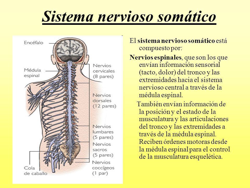 BiologíaYulaidyF.: COMPRENDER LA RELACIÓN DEL SISTEMA NERVIOSO CON ...