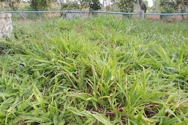 Brachiaria ruziziensis - Congo grass