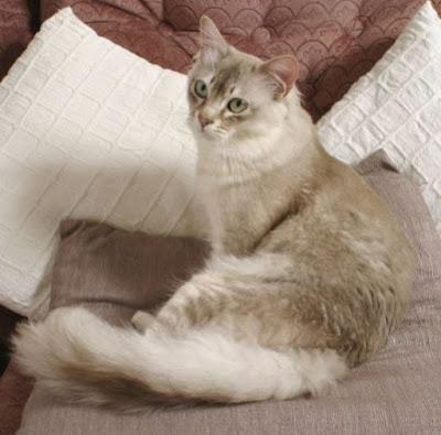 Kucing Tiffanie