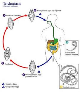 cykl rozwojowy włosogłówki