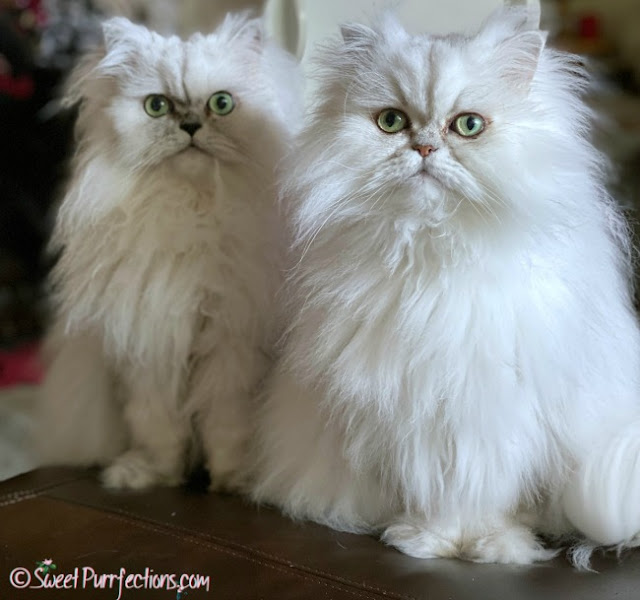 Silver shaded Persian Cats - Truffle and Brulee sitting