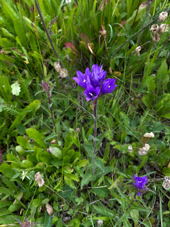 [Campanulaceae] Campanula glomerata – Clustered Bellflower (Campanula agglomerata) - based on flower time