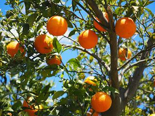 Orange (Malta) fruit crop Guidelines for Ambia bahar 9