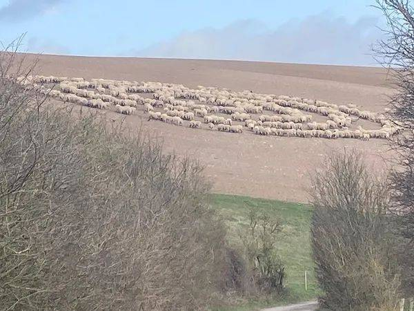Gregge di pecore forma misteriosi cerchi concentrici