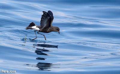 Ocell de tempesta de Wilson (Oceanites oceanicus)