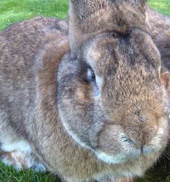 Continental Giant Rabbit vs Flemish Giant Personality, Temperament, Size, Lifespan, Price