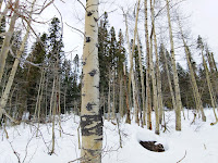 Aspen trees in the snow; leaves had fallen a season ago