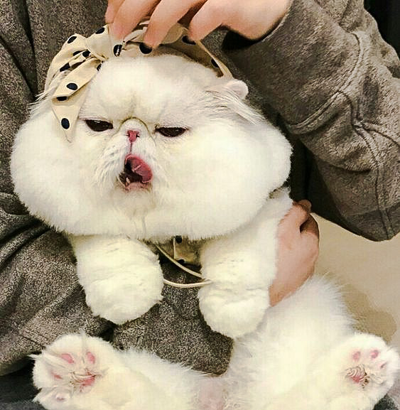Picture of the round head and cheeks of a white Exotic Shorthair bred to extreme