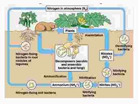 Perhatikan gambar siklus nitrogen di bawah ini ...