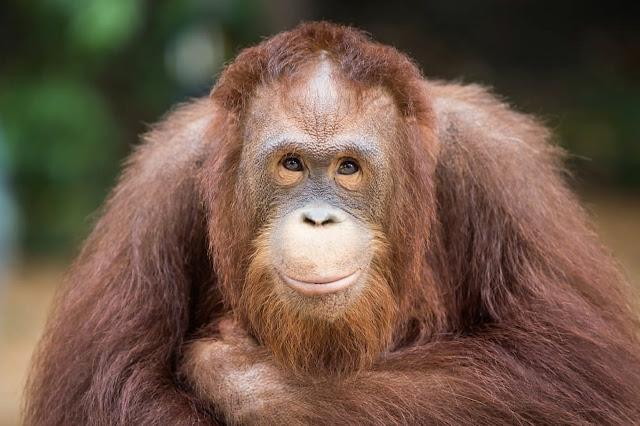 Орангутан подаде ръка на мъж затънал в река, помислил че се дави (СНИМКИ)