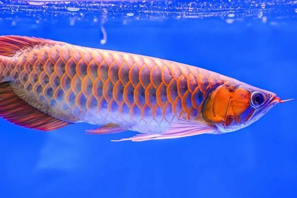 Terima Supplier Jual Bibit Ikan Arwana Magelang Berpengalaman