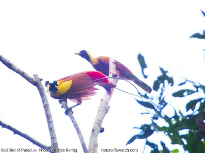 Red Bird of Paradise in Waigeo island of Raja Ampat