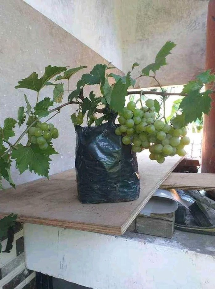 Paket Hemat Bibit anggur spesial tambulapot 2 bibit Bima