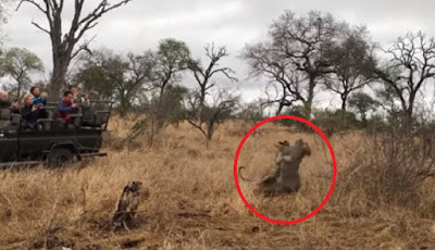 Macan tutul berburu babi hutan