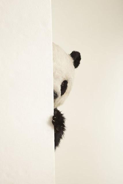 Tier,Großer Panda,خلفيات للهاتف دب باندا,دب باندا,باندا,Panda, خلفيات للهاتف,