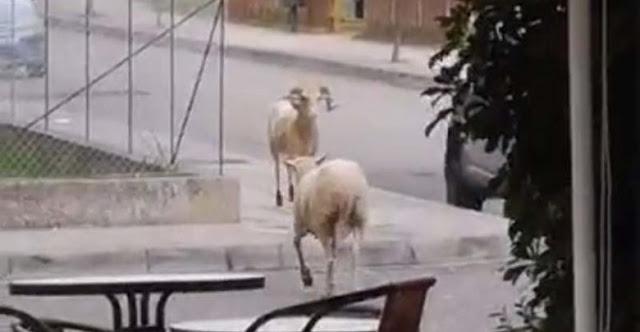 Δύο κριάρια έλυσαν τις διαφορές τους με μονομαχία στη μέση του δρόμου