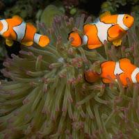 Ikan Nemo Yang Cantik dan Lucu
