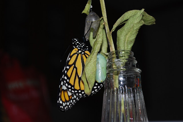 A monarch butterfly emerges from its chrysalis!
