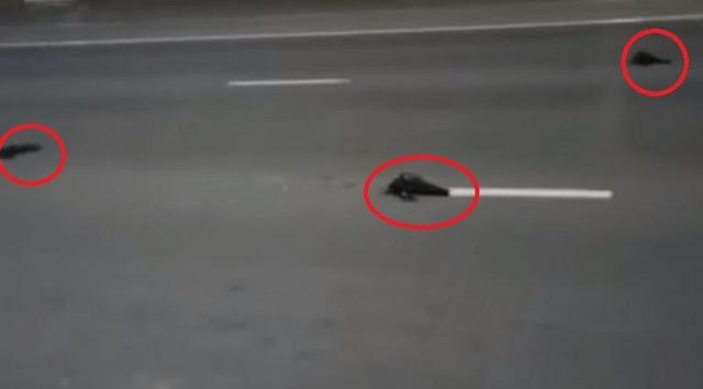 Uccelli morti cadono dal cielo in Russia ...