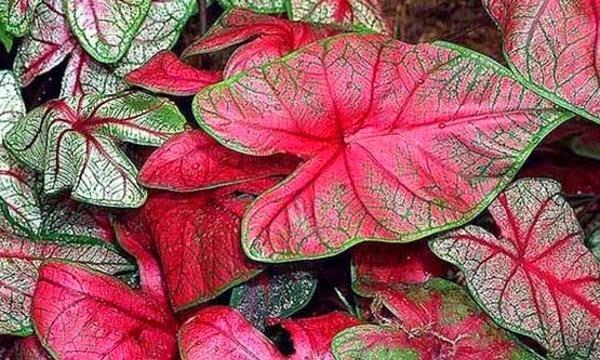 Caladium Bicolor (Keladi Red Star)
