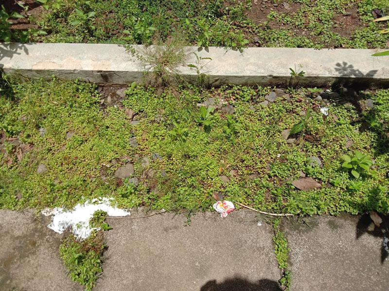 cara membasmi rumput liar di halaman rumah dengan roundup