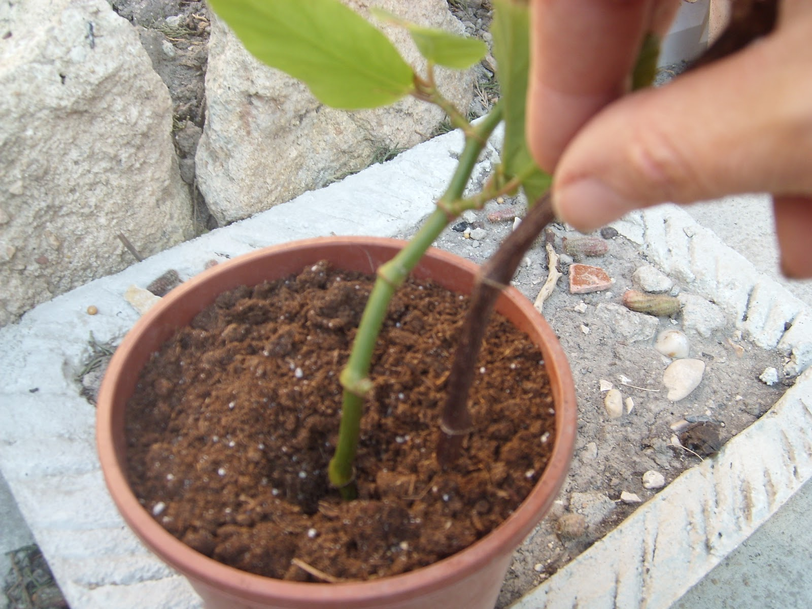 le jardin de pascaline bouturer le b gonia maculata. Black Bedroom Furniture Sets. Home Design Ideas
