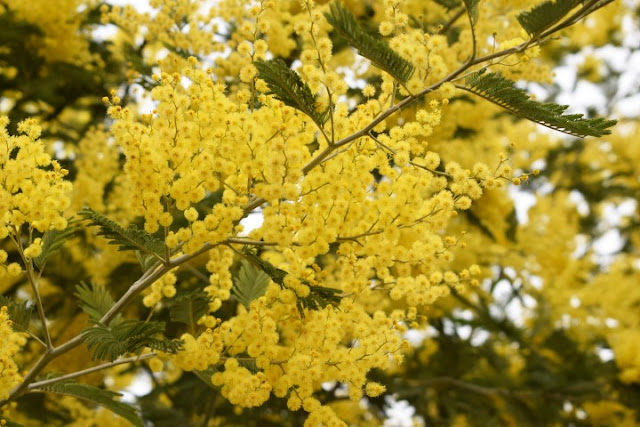 Acacia dealbata, árboles invasores, especies invasoras, mimosa, jardines, jardinería