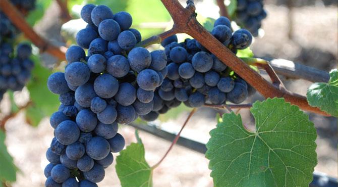 Nicole's Wine Blog: Grape Varietal: Gamay