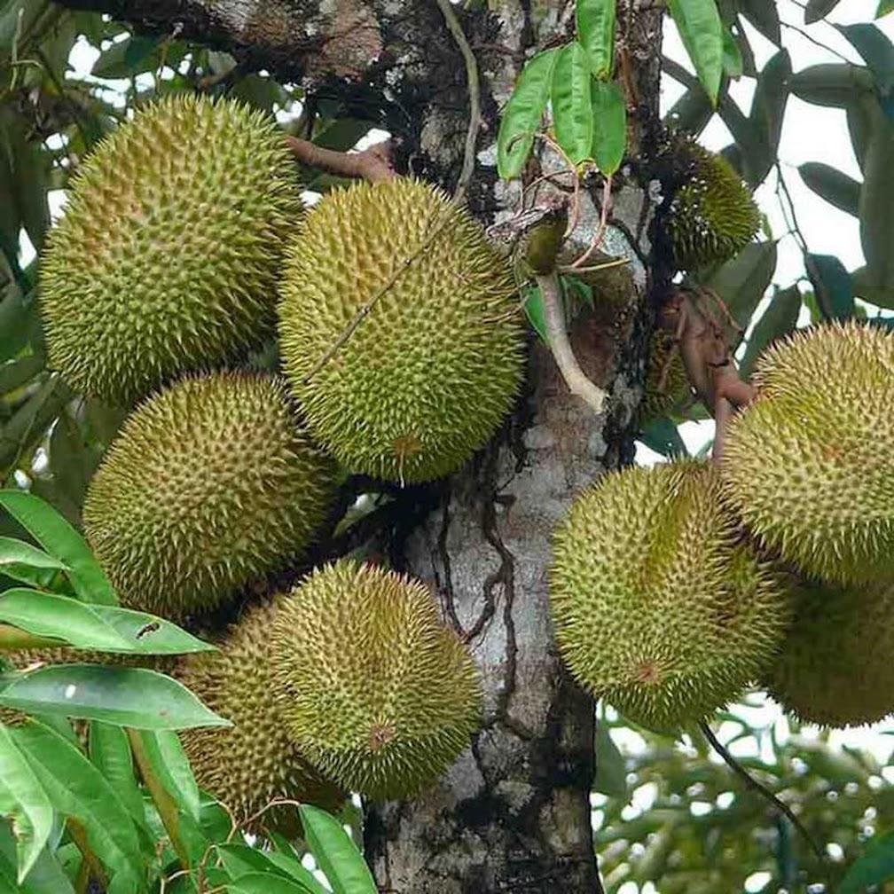 Bibit Tanaman Durian Musangking Kaki 3 Siap Berbuah Metro