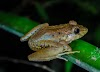 Every frog has its day: Newars of Kathmandu feed frogs