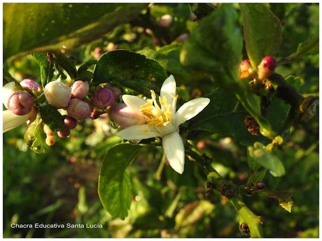 Flores, pimpollos, reproducción frutal - Chacra Educativa Santa Lucía