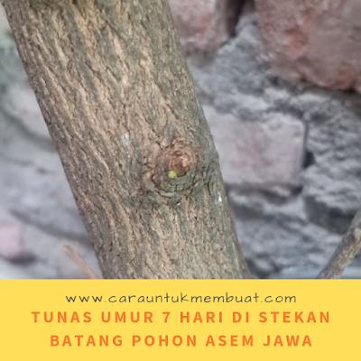 Tunas Umur 7 Hari Di Stekan Batang Pohon Asem Jawa