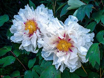 Peony flowers: Kencho-ji