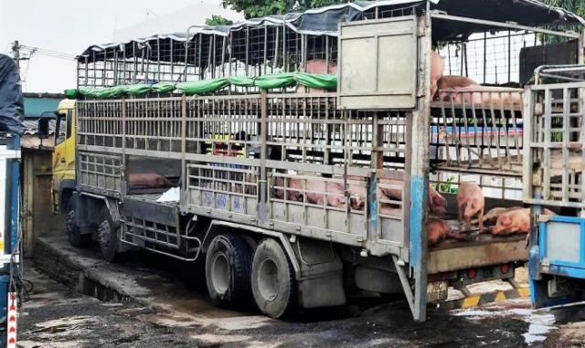 Xử phạt tài xế xe ở Quảng Ngãi chở lợn nhiễm dịch tả châu Phi đi bán