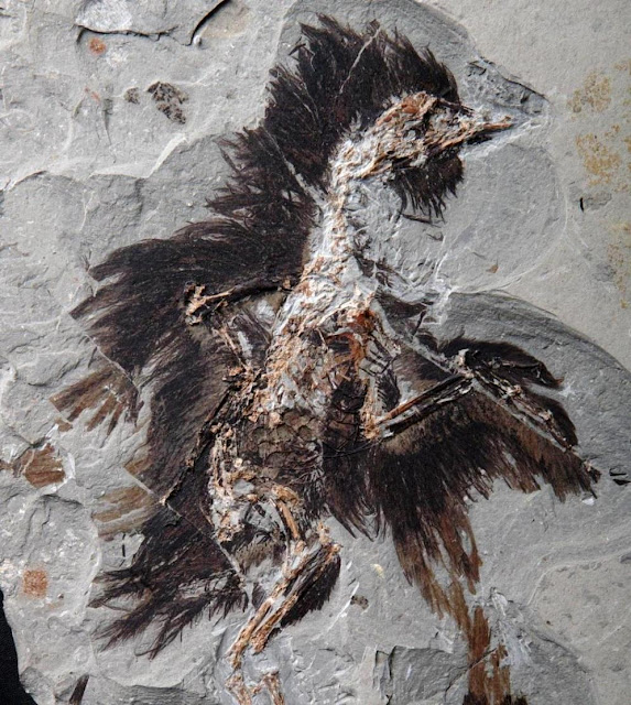 Feathers on This 130-Million-Year-Old Fossil Still Contain Traces of Color