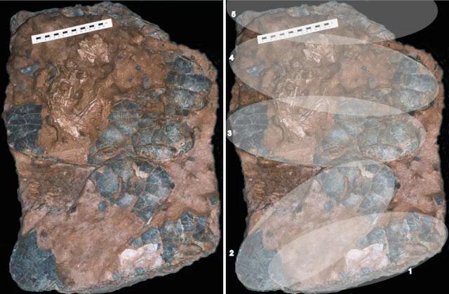 Il fossile (a sinistra) e una sovrapposizione digitale (a destra) mostra dove le uova erano posizionate prima che si rompessero e si fossilizzassero. Notate lo scheletro dell'embrione accanto al righello.