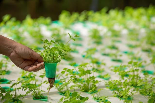 Cara Bertanam Hidroponik dan Peluangnya dalam Bisnis